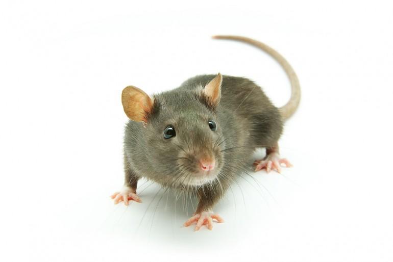Žiurkinė dėmėtoji šiltinė